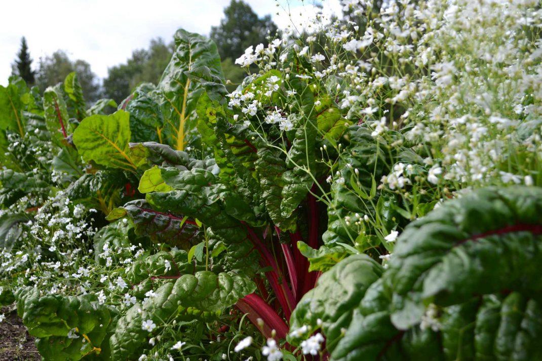 Vita sommarblommor mellan kraftiga gröna plantor av mangold.