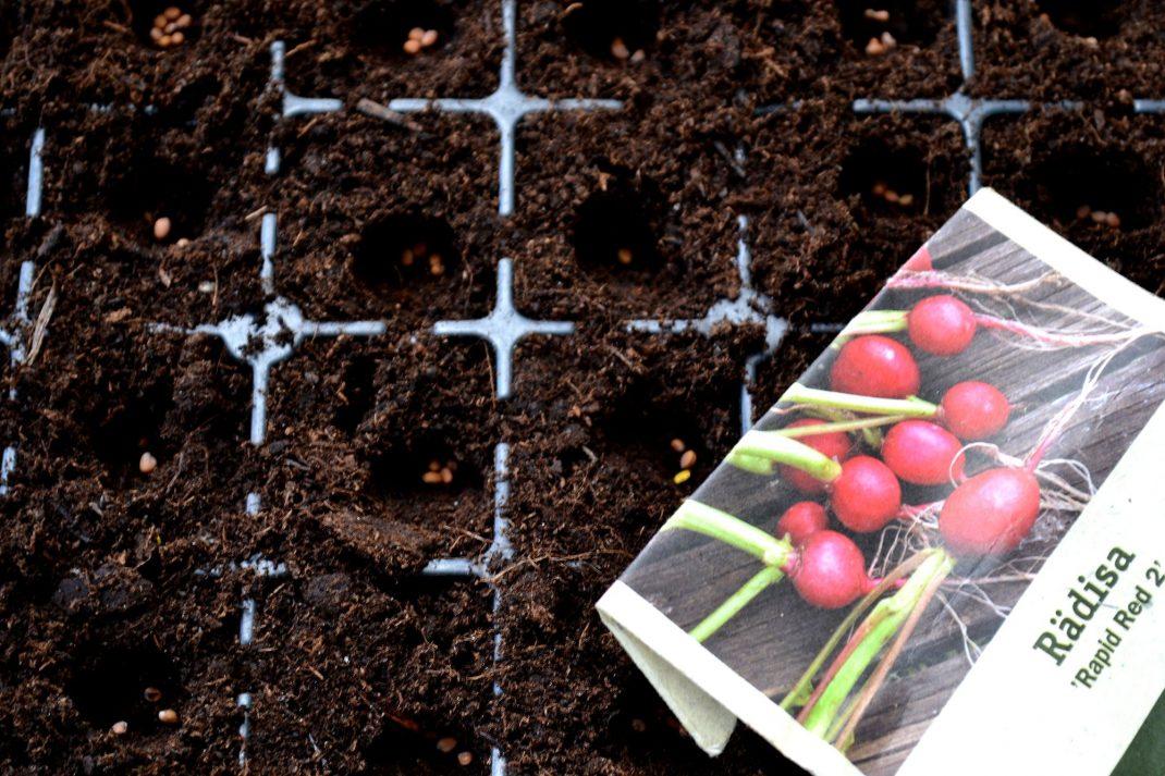Rädisfröer i jord i ett pluggbrätte.
