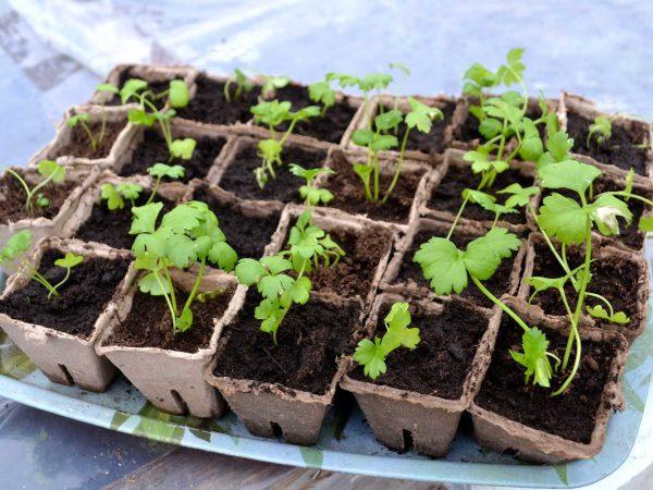 Små plantor av rotselleri i krukor.