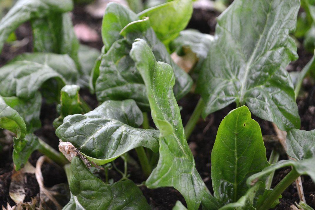 Mörkt gröna spenatblad i närbild.