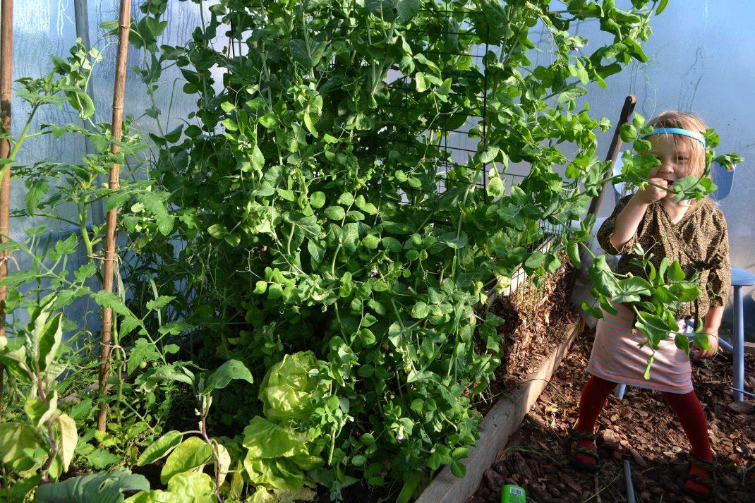 En hög sockerärt växer i tunnelväxthuset. Buying a polytunnel. A tall sugar snap pea plant in my polytunnel.