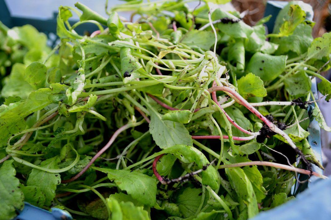 Den första sådden av rädisa i varmbänken har växt urdåligt, de såddes för tidigt och blev rangligare än någonsin. Jag ryckte upp rubbet och använder i sallader och på smörgåsar. Overwintered vegetables, radishes.