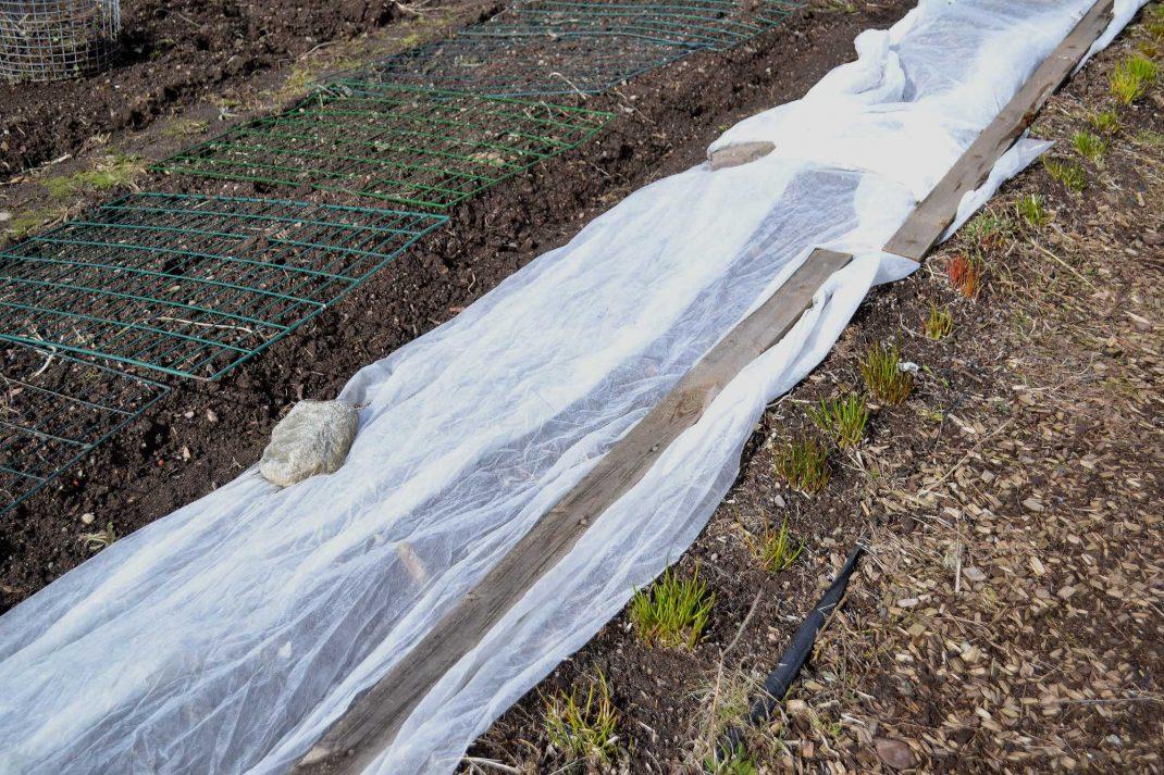 En fiberduk täcker en lång rad i köksträdgården.