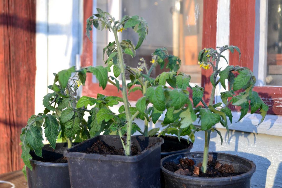 Tomatplantor nyss omplanterade. Window sill vegetables, tomato plants.