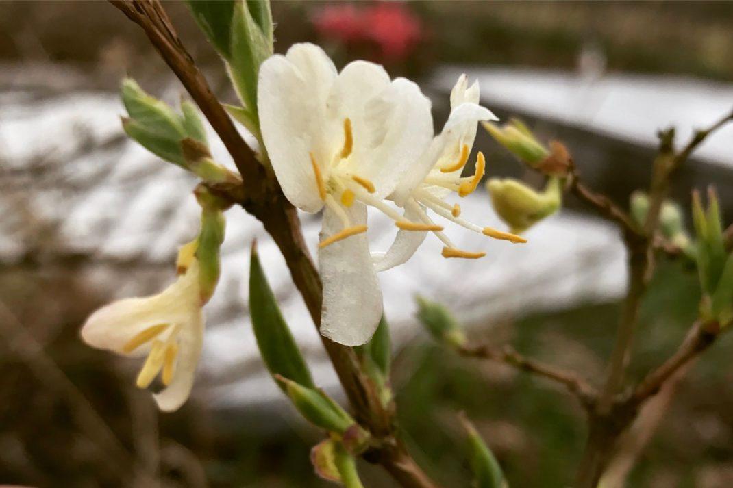 Vackra vita blommor på kala grenar.