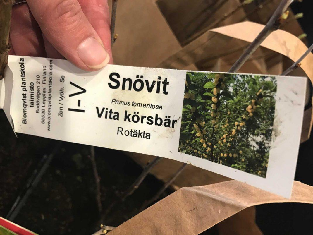 En plantetikett till vit körsbärsbuske.