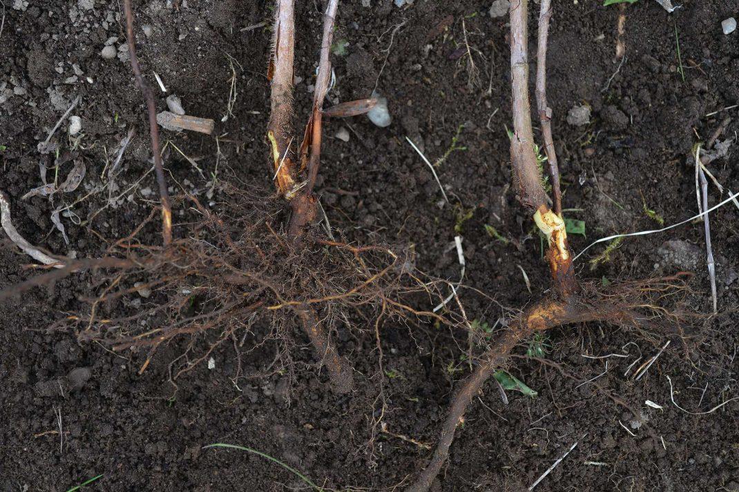 Två hallonskott med rotdelar ligger på jorden. How to propagate raspberries.