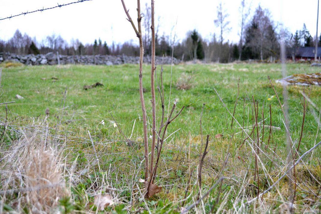 Hallonplantor i betesmarken.