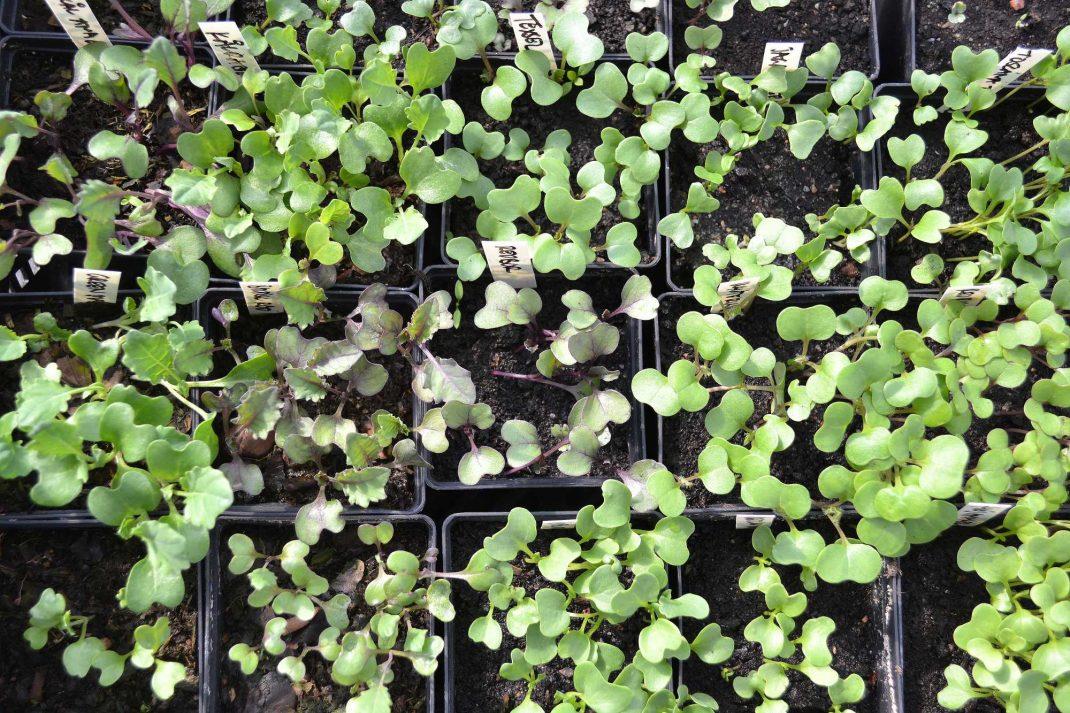 Många små kålplantor i en tät matta.