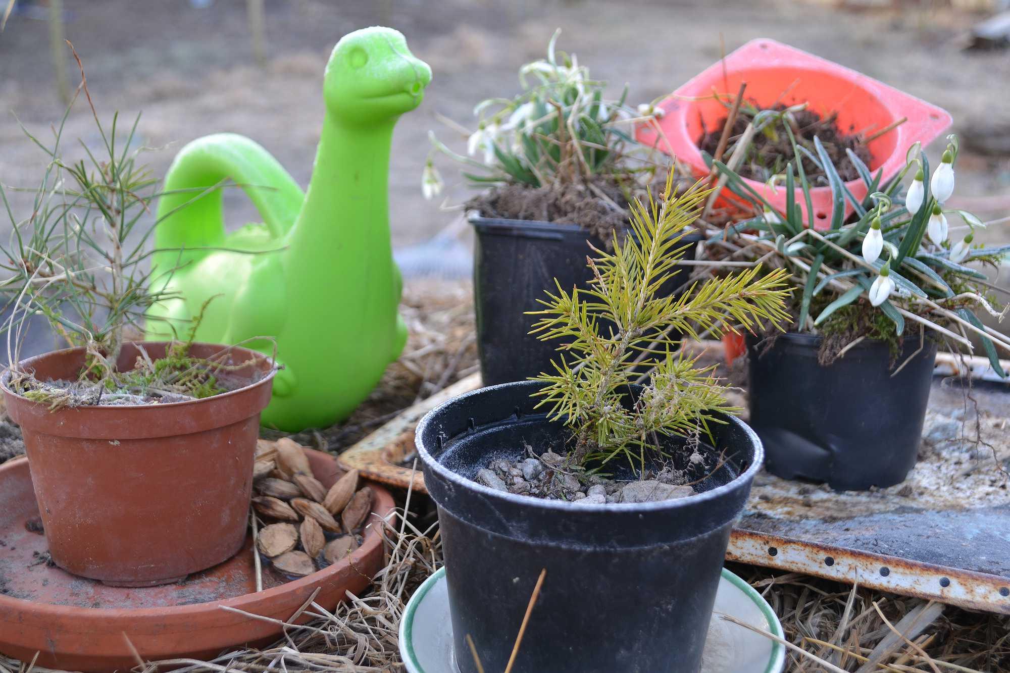 Små plantor i krukor och en illgrön vattenkanna i form av en dinosaurie.