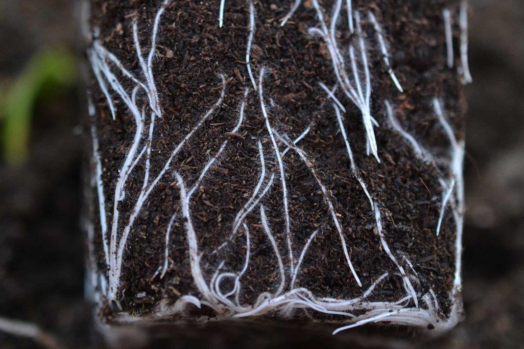 Perfekta rötter i jorden.