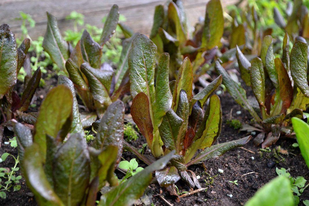Salladsblad med rödaktig färg. Overwintering lettuce.