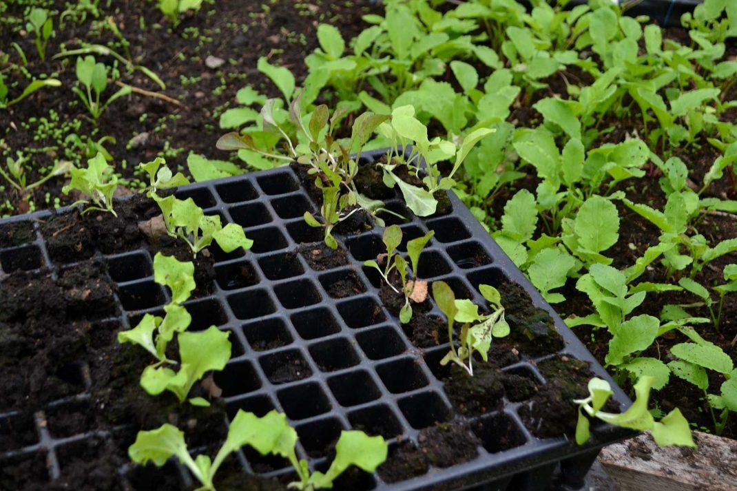 Pluggbrätte med sallatsplantor.