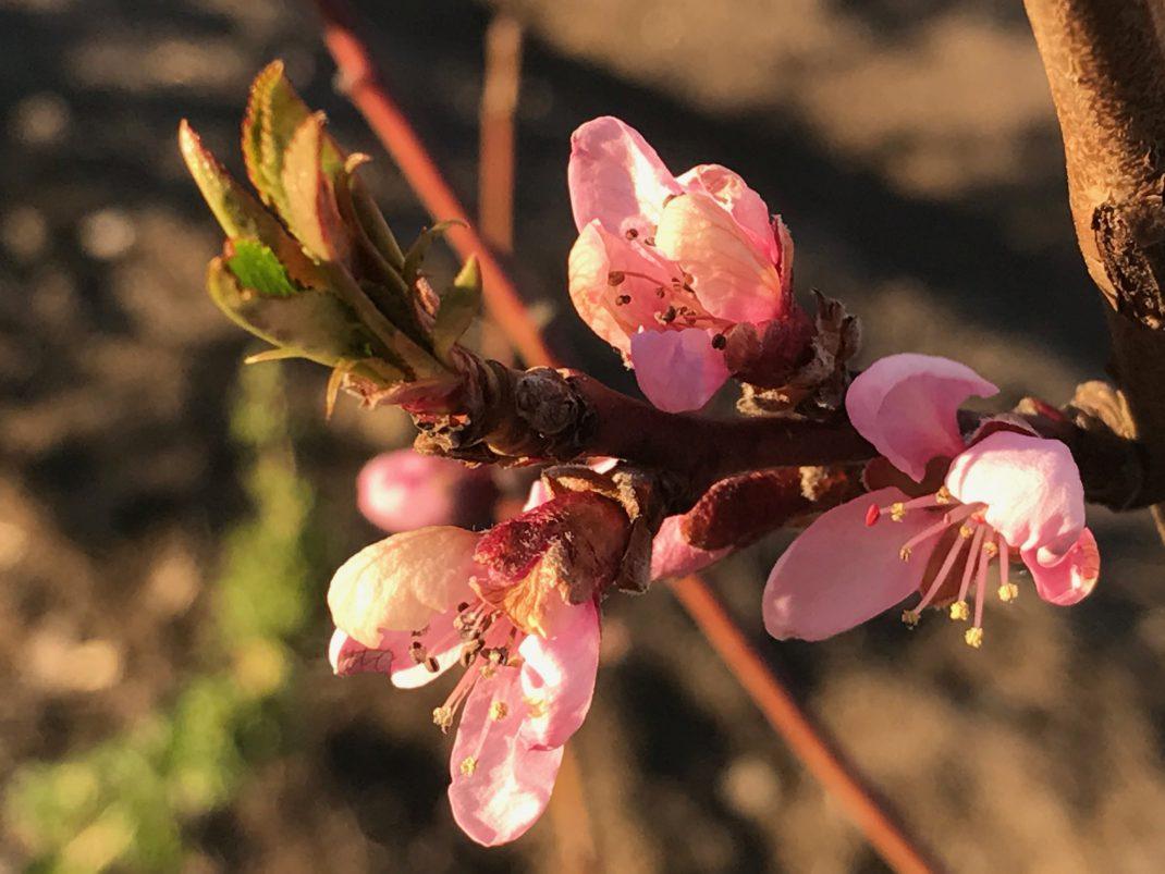 En närbild på rosa persikoblommor.