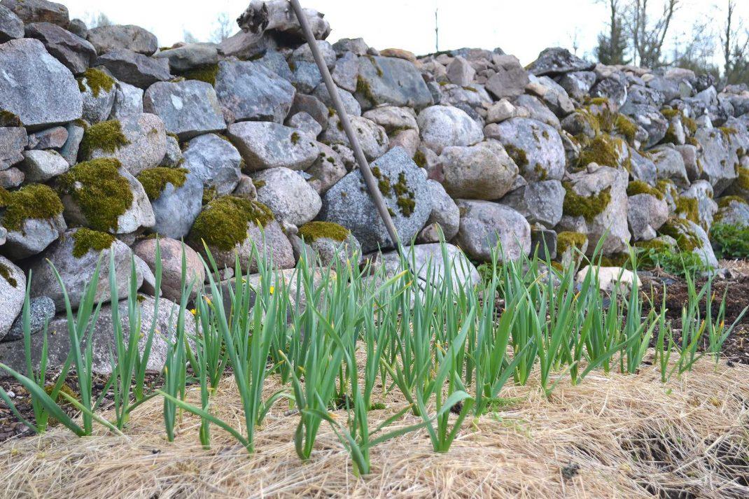 En liten plantering med små vitlöksplantor.
