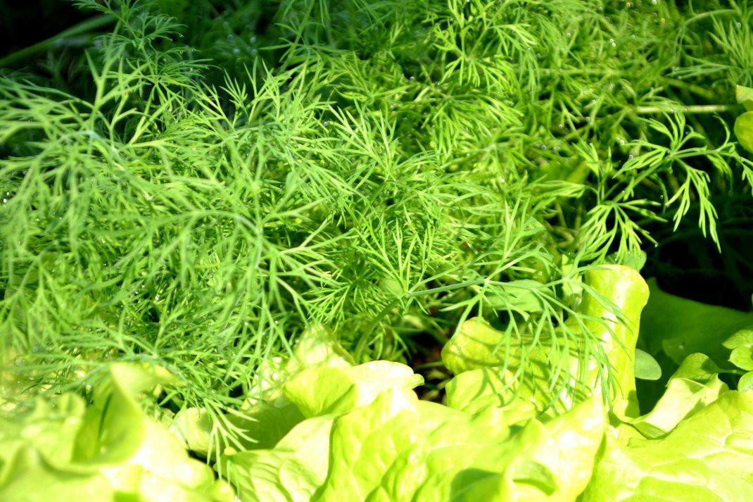 Frodig grön dill bredvid ljust gröna sallatsblad. Harvesting dill, lovely green dill next to my lettuce.