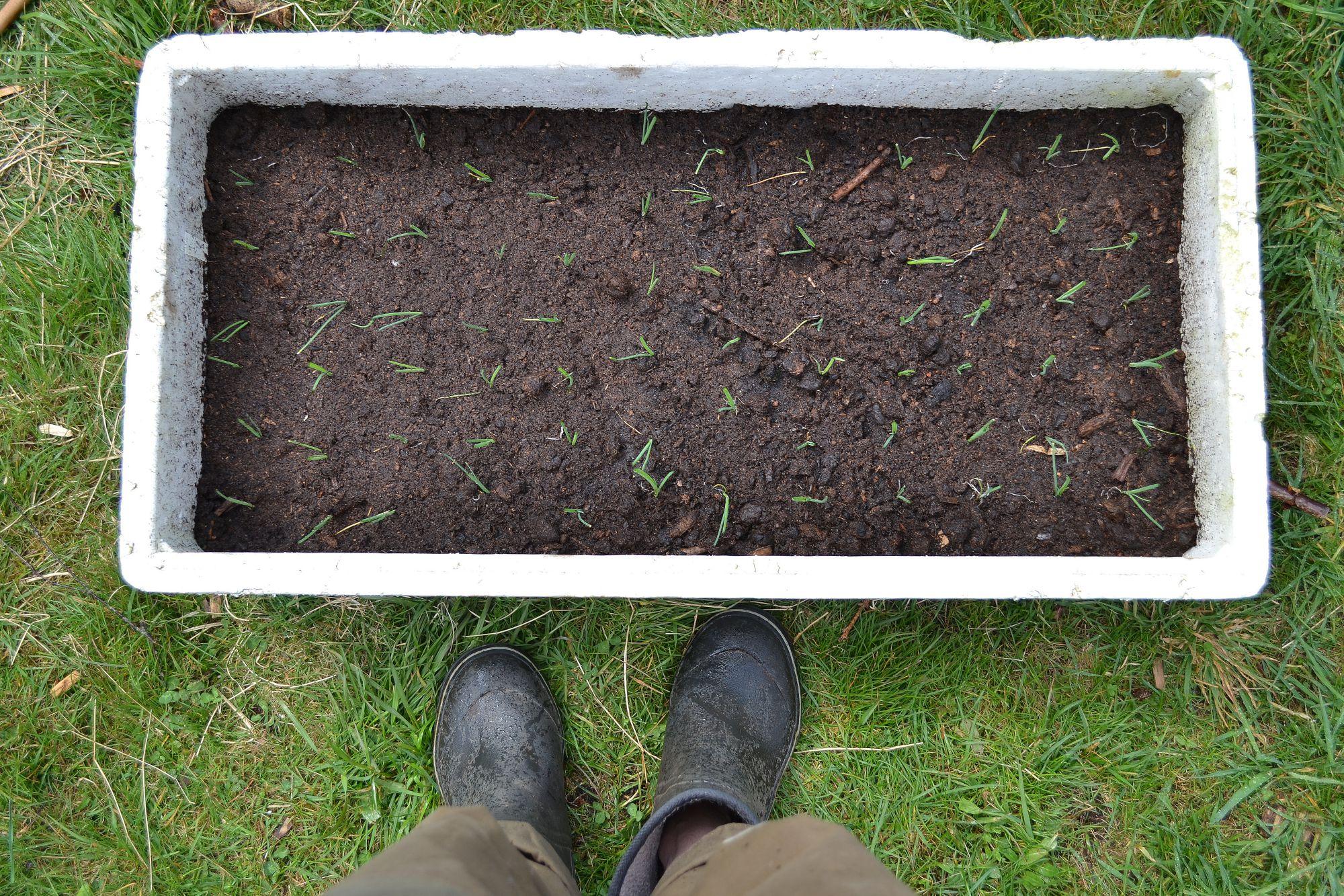 How To Grow Leek In A Foam Box Sara S Kitchen Garden