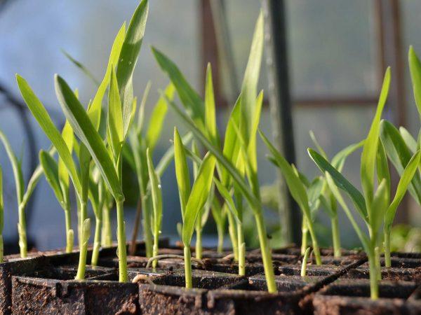 små pluggplantor av majs