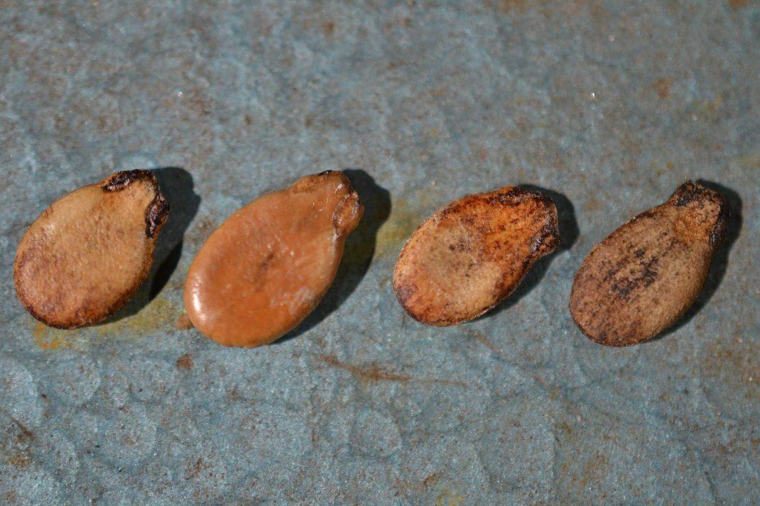 En rad med platta melonfröer