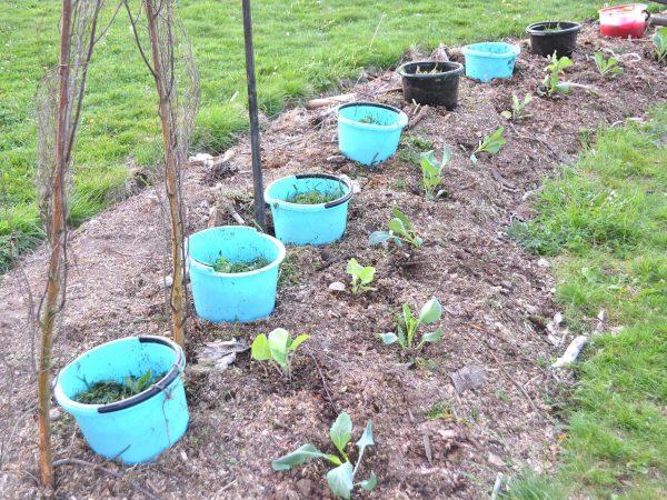 En plantering i täckodlad bädd som är fylld av blå hinkar.