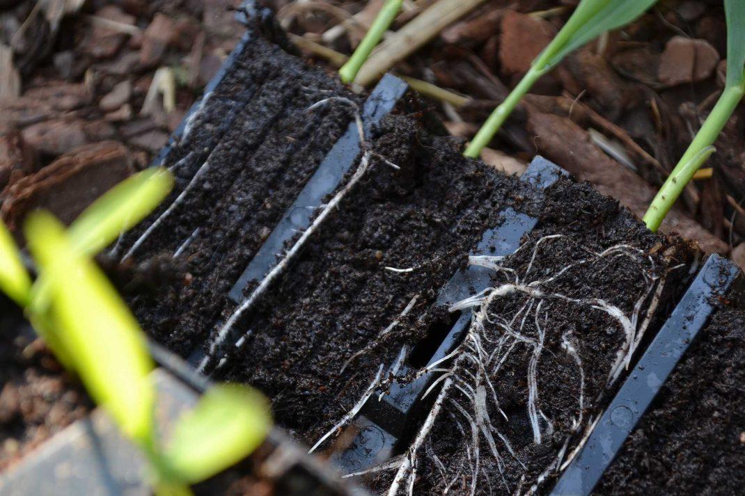 Små försådda majsplantor i ett slags odlingstråg. Planting corn, small pre-seeded plants in a trough.