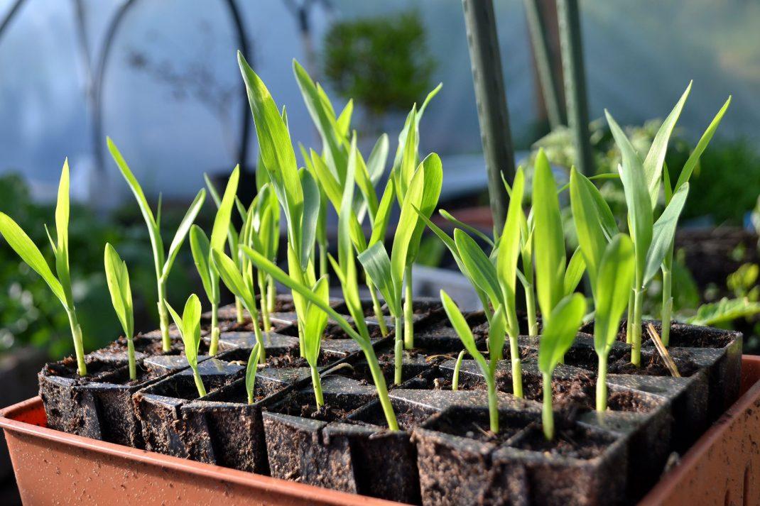 Små majsplantor i ett litet tråg.