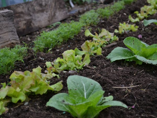 Tre prydliga rader med gröna grönsaker mot svart jord