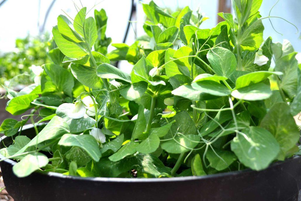 En kruka med gröna växter och ärter.