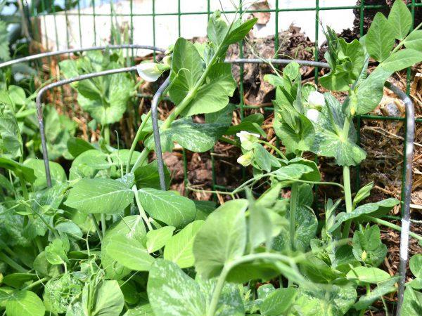 Sockerärter längs kompostgaller.