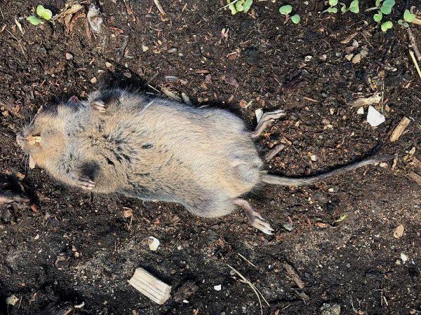 En död sork ligger på rygg på jorden.