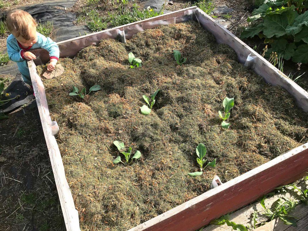 en plantering av kålplantor