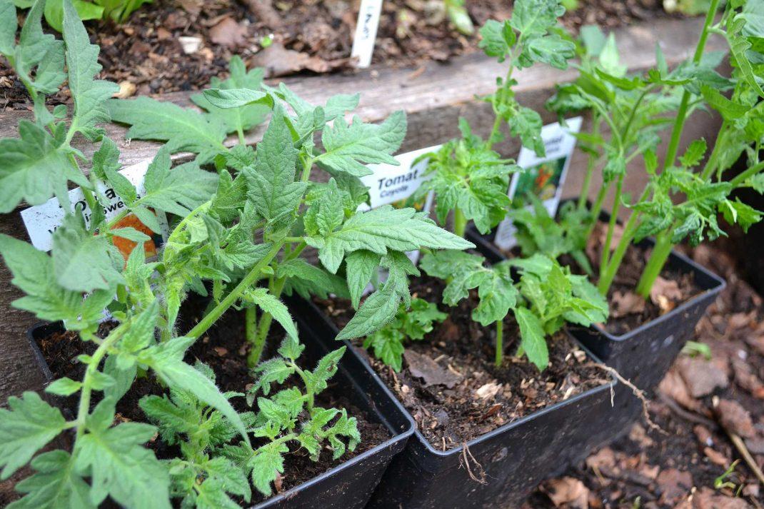 krukor med tomatsticklingar står på marken i tunnelväxthuset.