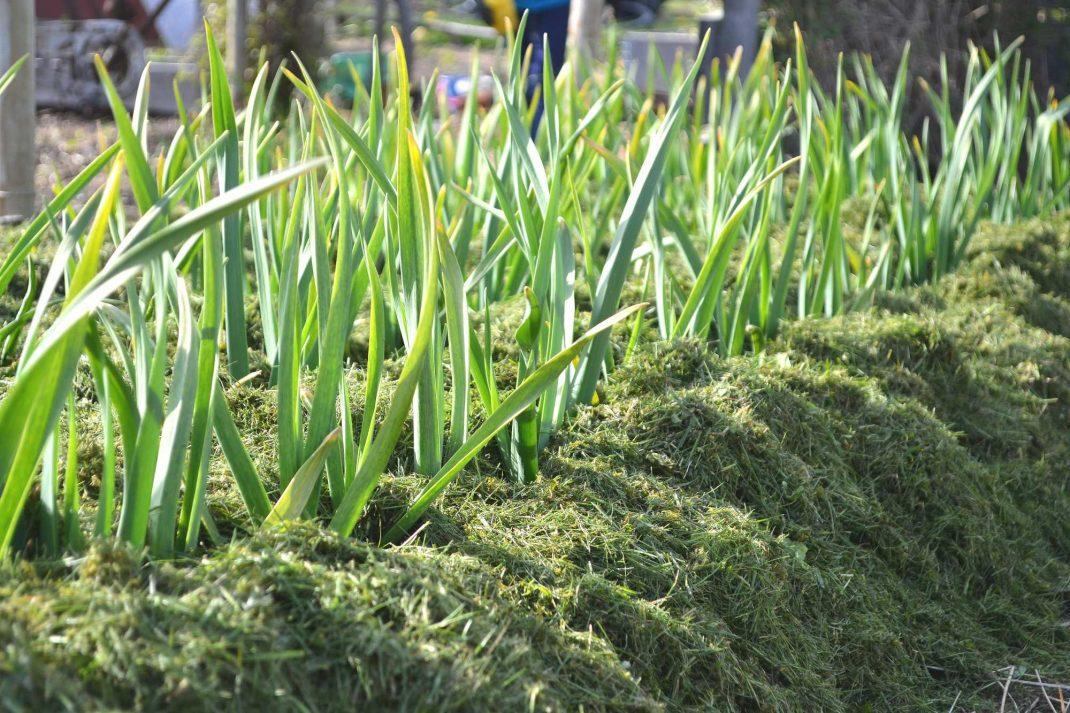 Gräsklipp ligger runt plantor av vitlök.