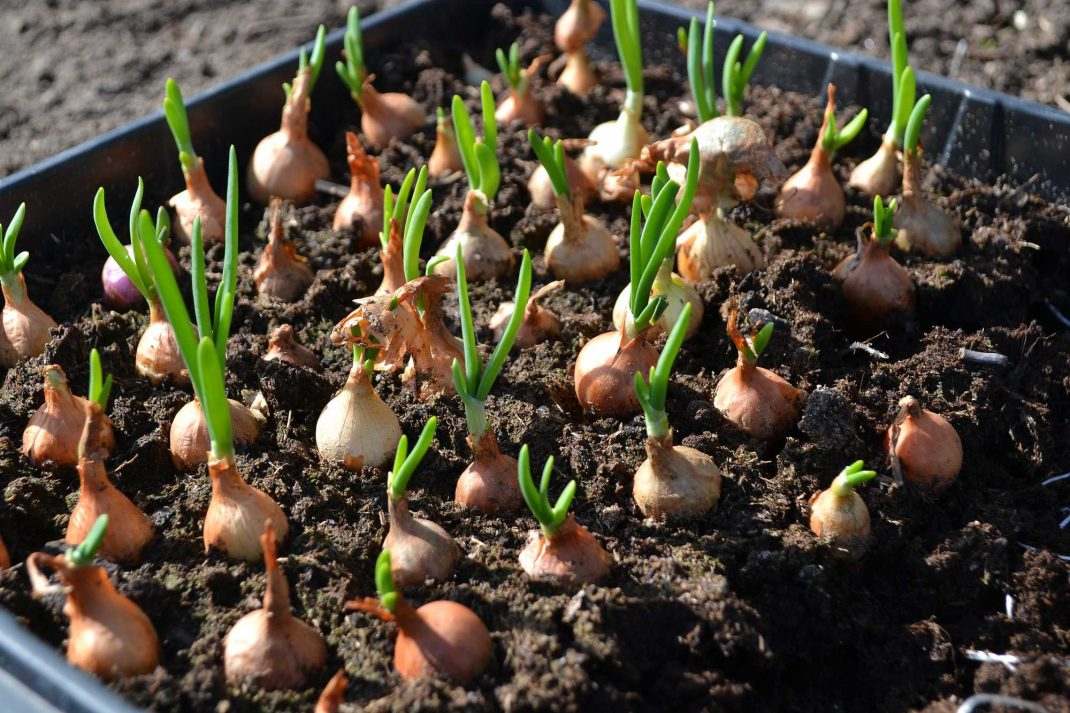 Sättlök på jord i ett odlingstråg.