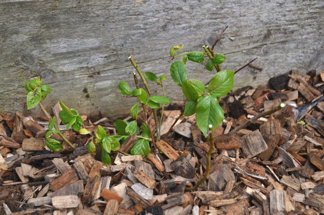 En hårt beskuren blåbärsbuske