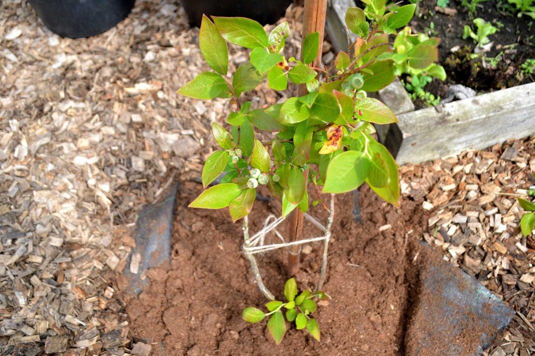 En planterad blåbärsbuske