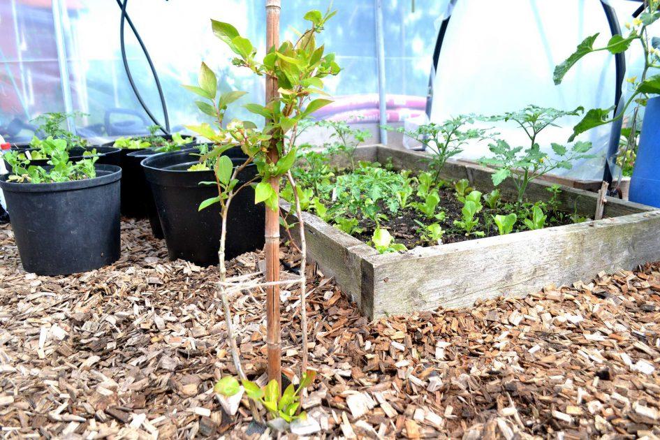 Plantera blåbär i trädgården så här gör du för att lyckas