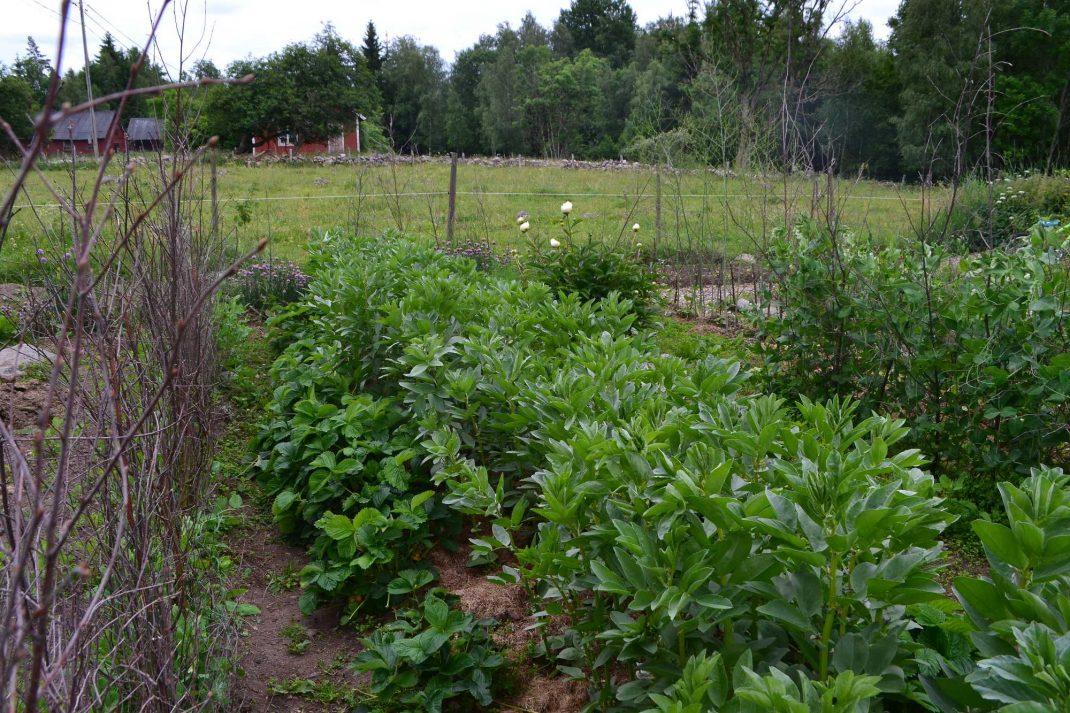 Höga bönor i mitten av bädden och låga jordgubbsplantor bredvid. Companion planting with strawberries, tall plants.