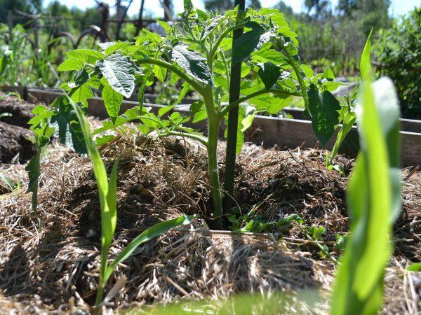 En fin knubbig tomatplanta på friland i täckodling.