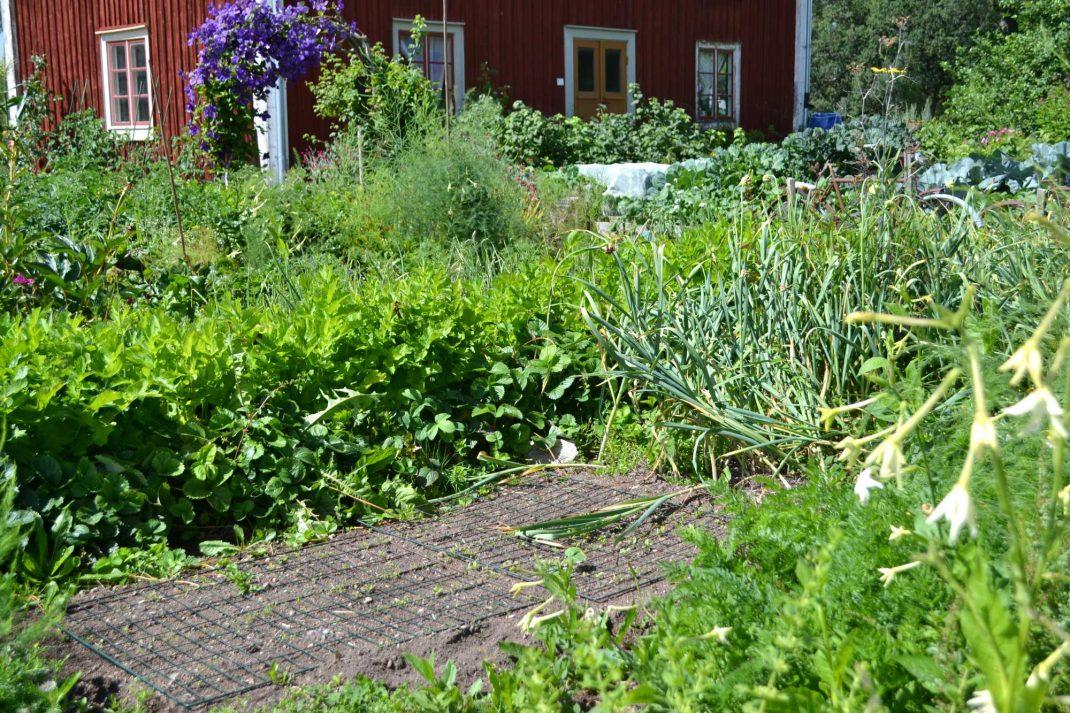 Köksträdgården i högsommarskrud. Companion planting with strawberries, the kitchen garden.