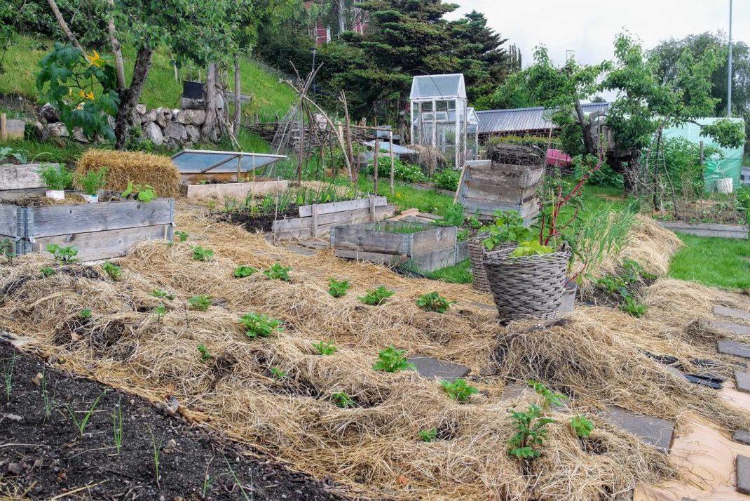 En köksträdgård med täckodlade bäddar i en slänt. Sourdough slug repellent, mulched beds