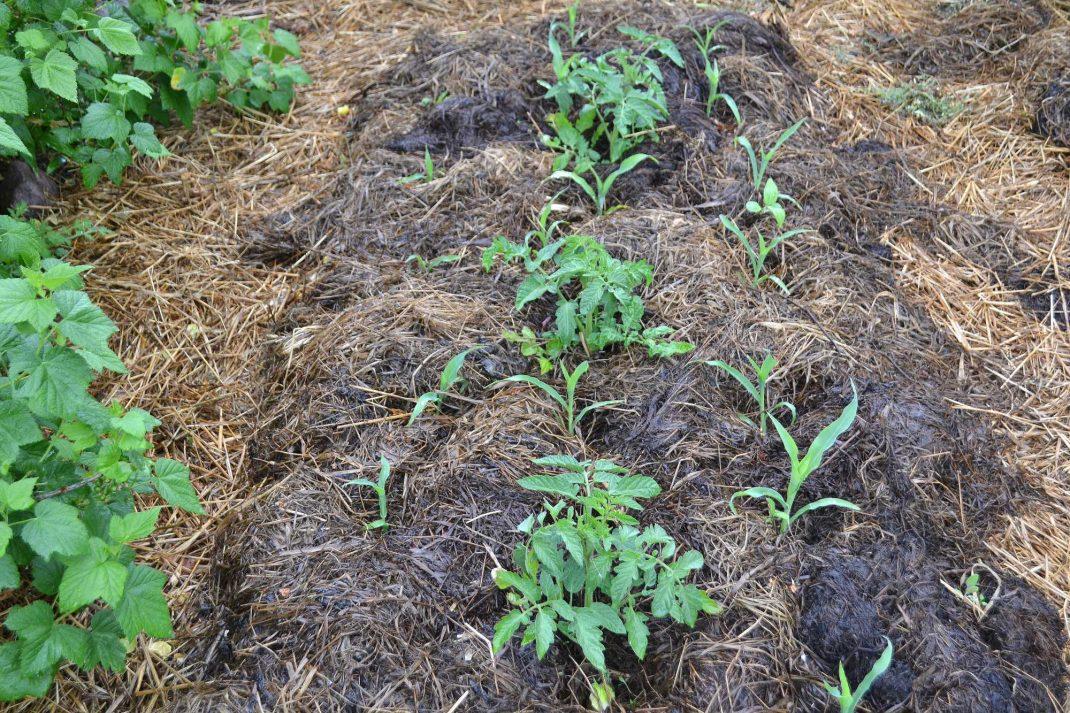 En täckodlad bädd med små gröna plantor. Companion planting corn and tomatoes