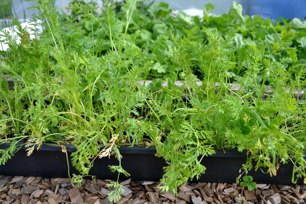En balkonglåda fylld med grön morotsblast. Wnter-sown baby carrots, carrots in a balcony planter.