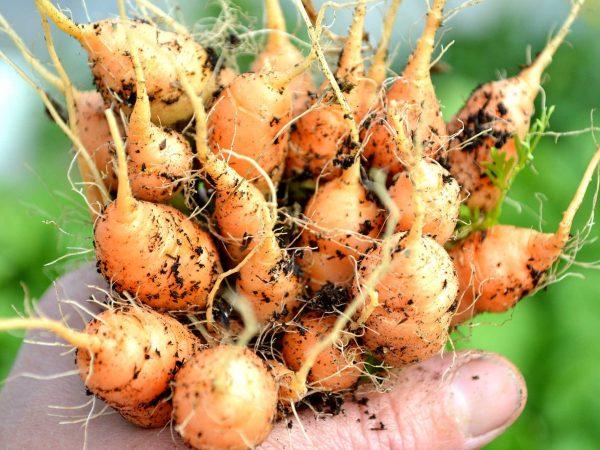 Ett knippe med mycket små morötter i handen.