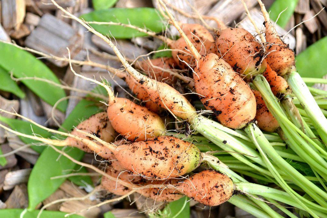 Morötter och sockerärter ligger på träflis. Winter-sown baby carrots, carrots and sugar snap peas.