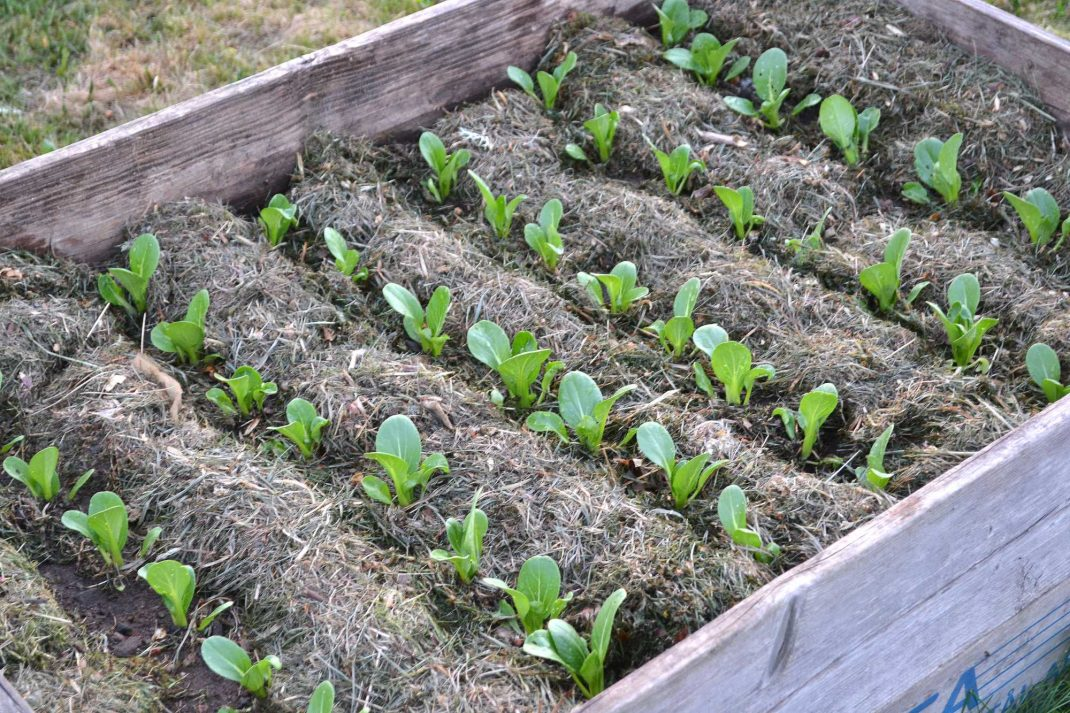 bild på pallkrage med många rader med små pack choi-plantor och gräsklipp emellan.
