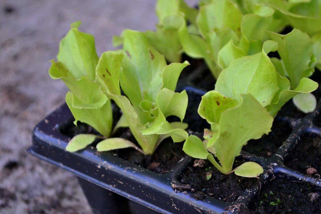 Närbild på pluggbrätte med sallat i. A plug tray with lettuce.