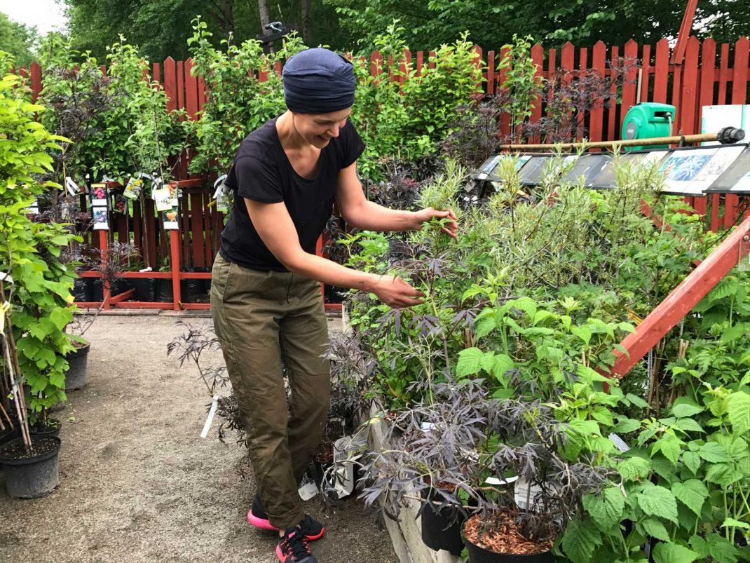 Lyxigt att botanisera bland alla växter och välja favoriter till ett fint erbjudande. Här fingrar jag på rosa fläder 'Black Lace'.