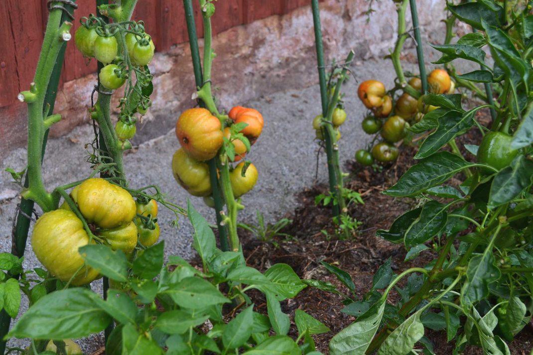 En tomatplantering längs en husvägg. Tomato plants against a wall.