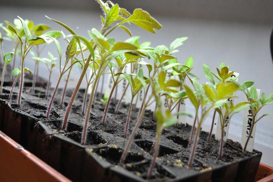 Små tomatplantor under extrabelysning.
